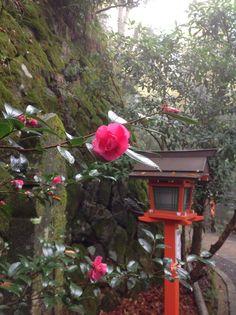 Camellia in Kurama shrine in Kyoto
