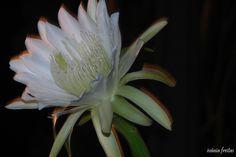 Flor de Mandacaru