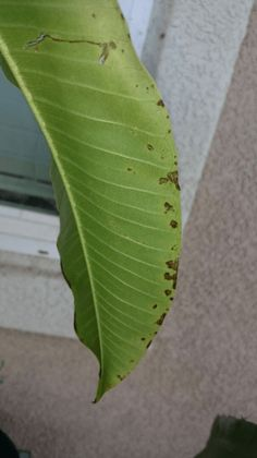 Sometime when we look at the foliage of our plants we automatically think it is under attack from a large creature (usually a small insect) taking advantage of our poor defenseless plants.