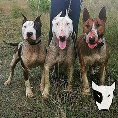 Gull Terrier, Pitbull Terrier, English Bull Terriers, Staffordshire Bull Terrier, Best Dog Breeds, Best Dogs, Pig Hunting Dogs, Dog Weight, Terrier Breeds