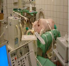 Petition in text below: Stop Animal Testing & Vivisection   http://forcechange.com/67782/demand-nestle-stop-cruel-animal-testing/ PET.2 http://forcechange.com/67641/demand-nestle-stop-torturing-animals/ ✦Pictured:Unilever tested the infection-fighting properties of Lipton tea on a few month-old piglet ! ✦Please take a moment to ask Nestea to stop testing on animals and join other brands—such as Lipton.