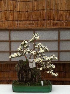 Chrysanthemum bonsai