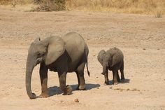 Elephants at Luangwa River Camp -- Luxury Safari Lodge -- Zambia