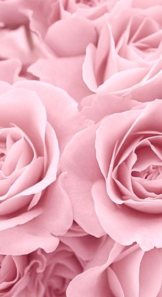 cotton candy pink roses