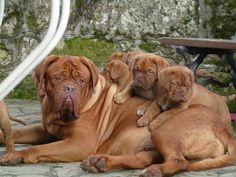 #French #mastiffs