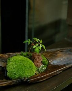 Unique bonsai kokedama Ball Ideas for Hanging Garden Plants selber machen ball Ikebana, Indoor Garden, Garden Plants, Indoor Plants, Moss Plant, Mini Bonsai, Pot Jardin, Deco Nature, Paludarium