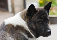 How Much Food Should an American Akita Eat?. The American Akita is one of the most loyal breeds in existence. They show total devotion to their family; faithfulness is one of their most important behavioral traits. Holding up all...