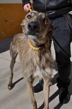 Galgo barbuda bringé Turko à l'adoption chez sos chiens galgos