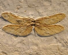 Dragonfly fossil - even as a fossil those wings are still stunning aren't they?