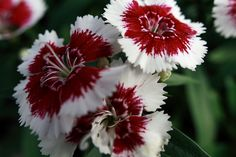 Attractive Whiten And Red Flowers Pictures | Description Flowers Red White  ForestWander.JPG