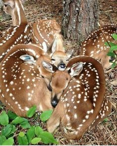 Fawns                                                                                                                                                                                 More