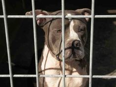 **EMERGENCY** ~ 6 YEARS OLD MALE, GRAY & WHITE AMERICAN PIT BULL TERRIER!! SHORTY - ID#A1425342 — Harbor Shelter – San Pedro, CA (L.A. area)    The shelter thinks I am about 6 years old. I weigh approximately 47 pounds. I have been at the shelter since Sep 18, 2013.   http://www.petharbor.com/pet.asp?uaid=LACT1.A1425342  https://www.facebook.com/photo.php?fbid=366453670155206&set=a.232199483580626.60953.162131600587415&type=3&theater