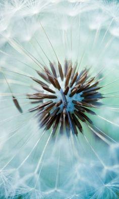 dandelion, fluff, flower, stem