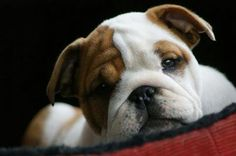 so precious ... remember they grow up and require lots of $$$$ & TLC in order to be taken well care of. I love bulldogs!