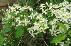 Clematis virginiana - the REAL one. Don't plant the other one clematis ternifolia | Using Georgia's Native Plants
