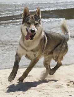 Esuna Arison Srdcerváč (Czechoslovakian wolfdog)