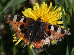 The easiest way to give small tortoiseshell butterflies a home is to fill your borders with the flowers they love - Michaelmas daisies, marjoram, coltsfoot, and lavender are a good place to start #homesfornature Photo by Lockhart