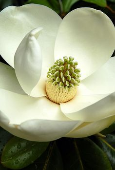 white magnolia. v/Flickr. ~ I loved sitting in our magnolia when I was a child. The fragrance was intoxicating...and the limbs were a cinch to climb! ~ ALW