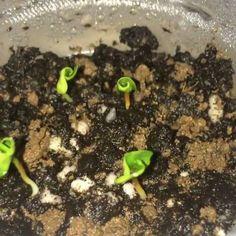 Így nevelj gránátalmát a lakásban! Hamarosan szüretelhetsz is! Succulent Terrarium, Fruit Trees, Garden Plants, Succulents, Home And Garden, Flowers, Gardening, Decor, Plant