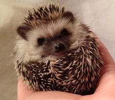 Reno, Nevada area Hedgehog breeder