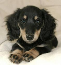 Hensley the Miniature Dachshund Pictures 7746