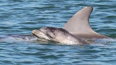 A NEW little dolphin is missing from the Port River and is believed to have died.