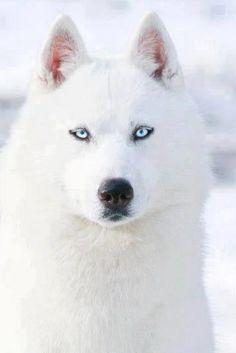 Beyaz sibirya Husky .........