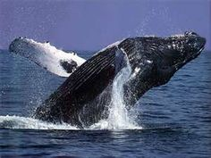 We can go whale watching! Kinds Of Whales, Save The Whales, Blue Whale Facts, Whale Watching Tours, Gray Whale, Rare Animals, Strange Animals, Majestic Animals, Wild Animals