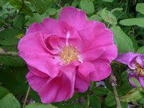 Gallica-Rosen - historische-rosen-susanne-mewess Webseite!