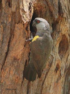 Birds Parrots Rueppell's Parrot (Poicephalus rueppellii) Adult by the nest.