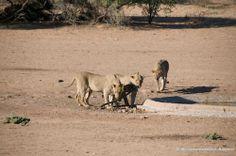 Lions ruin the Urikaruus Camp waterhole hose. Safari, Africa, Camping, Horses, Park, Cute, Animals, Campsite, Animales