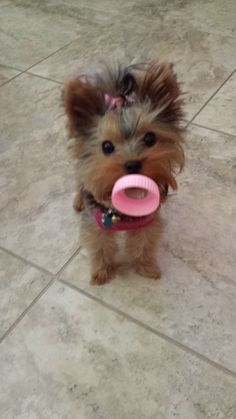 Another pinner's puppy...so freakin cute!!!  Chanel TRULY believes she's the BABY of the house!!! | A community of Yorkshire Terrier lovers!