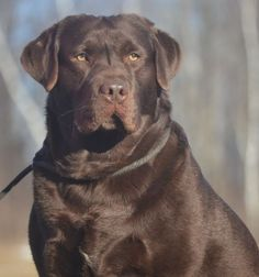 english labrador chocolate - Google Search