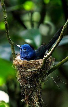 little blue bird nest Kinds Of Birds, All Birds, Little Birds, Love Birds, Pretty Birds, Beautiful Birds, Animals Beautiful, Exotic Birds, Colorful Birds