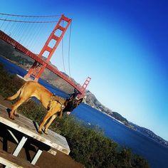 """A Malinois at the Golden Gate""  @malman_ig @malgal_ig @ilovemalinois . http://www.instagram.com/ilovemalinois M A L I N O I S - L❤ V E R - When we chose a Malinois we didn't choose a dog, we chose a lifestyle. . . . . . #malinoisdog #ilovemalinois #maligator #belgianmalinoislove #belgianmalinois #belgianmalinoisofinstagram #malinois #malinoispuppy #malinoislovers #malinoislove #malinoisdog #malinoislife #malinoislifestyle #malinoisofinstagram #germanshepherd #travelingdog #sanfrancisco…"