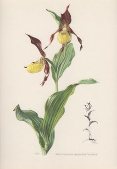 1953 Lady's Slipper Orchid Vintage Botanical Print by Craftissimo