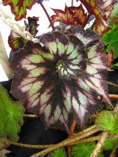 Begonia   begonia rex spiral best species of show class 22 begonia