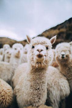lama animal The Ultimate Guide to Peru - Central America amp; Tier Wallpaper, Animal Wallpaper, Iphone Wallpaper, Alpacas, Cute Little Animals, Cute Funny Animals, Images Lama, Nature Animals, Animals And Pets