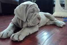 Image detail for -adorable neapolitan mastiff puppies - Pit Bull Mixed - Animals And Pets, Baby Animals, Funny Animals, Cute Animals, Cute Puppies, Cute Dogs, Dogs And Puppies, Doggies, Big Dogs