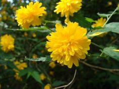 Pom pom flower