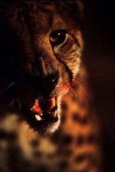 Cheetah at Dusk. (by Eric Landsberg). Cheetah Family, Big Cat Family, Animals Of The World, Animals And Pets, Cute Animals, Wildlife Photography, Animal Photography, Big Cats, Cute Cats