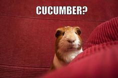 Piggy thought he heard something...☺☺☺ The Best Guinea Pig Food Delivered Fresh to your door! Click ❤ http://shop.smallpetselect.com/ ❤ FbookFriends: Use code ✔softNgreen✔ For Free Shipping via http://guineapiggies.tumblr.com/page/608