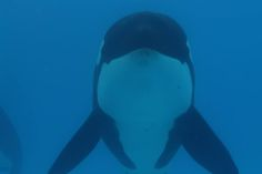 As the Southern Resident whales die, people who support BlackFish demonize SeaWorld. Learn why SeaWorld are wild Orca's best hope for survival.