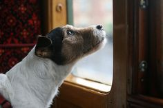 Sprout on the Isle of Wight.watching out the train window Orphan Train, Train Travel, Train Trip, Ocean Cruise, Parson Russell Terrier, Orient Express, Story Characters, Isle Of Wight, Woodland Animals