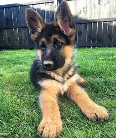 Wicked Training Your German Shepherd Dog Ideas. Mind Blowing Training Your German Shepherd Dog Ideas. German Shepherd Pictures, German Shepherd Puppies, Baby German Shepherds, Cute Baby Dogs, Cute Dogs And Puppies, Pet Dogs, Chihuahua Dogs, Doggies, Pets
