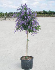 「Duranta Erecta U0027Geisha Girlu0027 (Skyflower)」の画像検索結果. Patio TreesFlower ...
