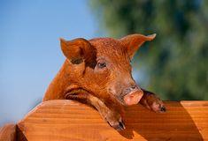 duroc pig - Google Search