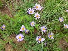 Aster bakerianus - Google Search Aster, Shrubs, Perennials, Google Search, Plants, Shrub, Plant, Perennial, Planets