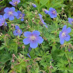 GERANIUM himalayense 'Johnsons Blue' - Storkenæb, farve: lys blå/rosa øje, lysforhold: sol/halvskygge, højde: 60 cm, blomstring: juni - august, god til bunddække.