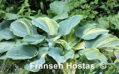 Confused Angel - a beautiful hosta - buy it if you find it because they sell out quickly!